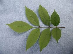 One Black-Ash leaf with seven leaflets