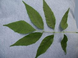 One Green-Ash leaf with seven leaflets