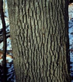 Upclose tree bark with diamond pattern