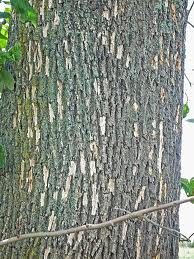 Woodpecker damage in bark