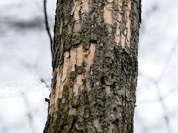Woodpecker damage in bark 1